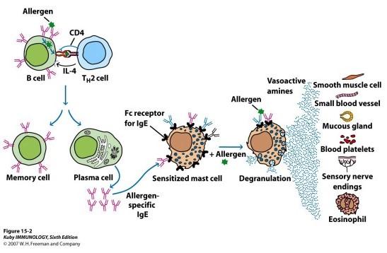 Patofisiologi Hipersensitivitas tipe 1