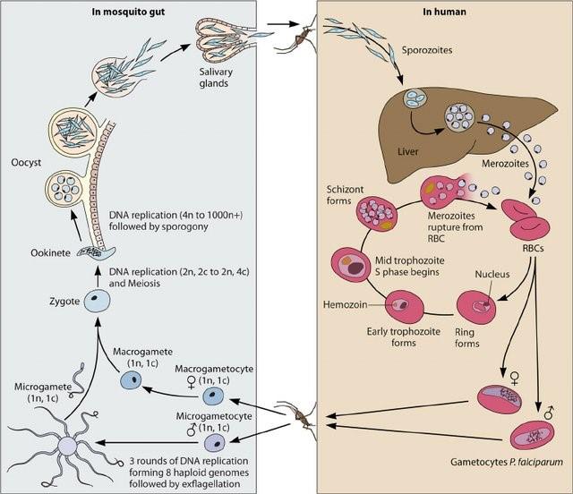Siklus Hidup Malaria