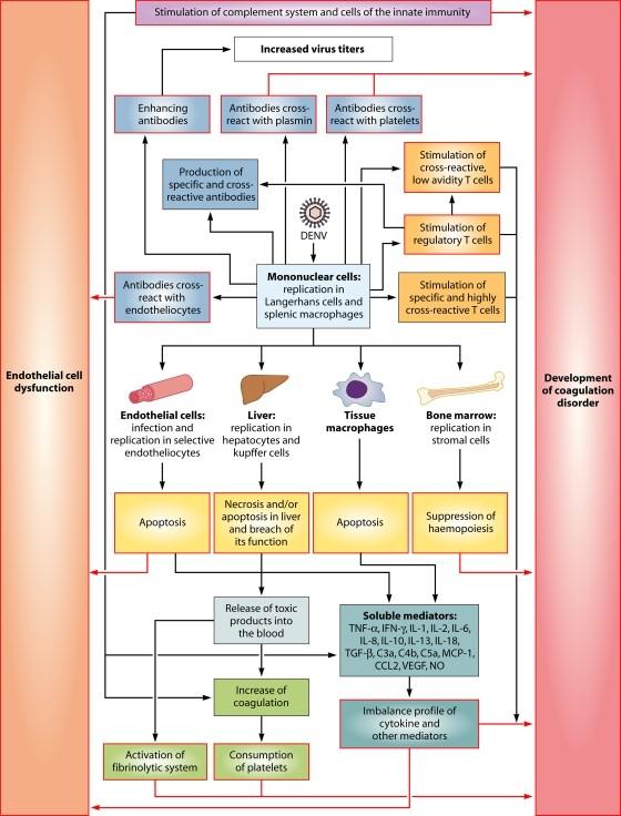 Patofisiologi Demam Berdarah Dengue