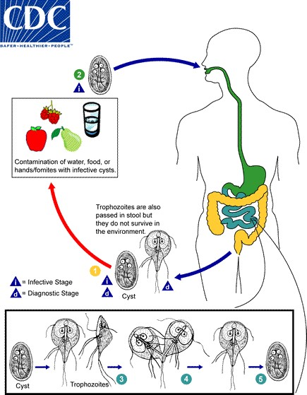 Siklus Hidup Giardia pada giardiasis