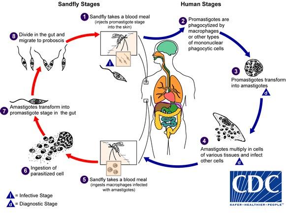 Siklus hidup parasit Leishmaniasis