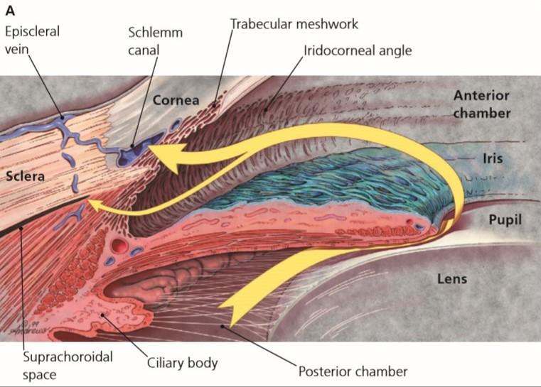 Anatomi sudut mata